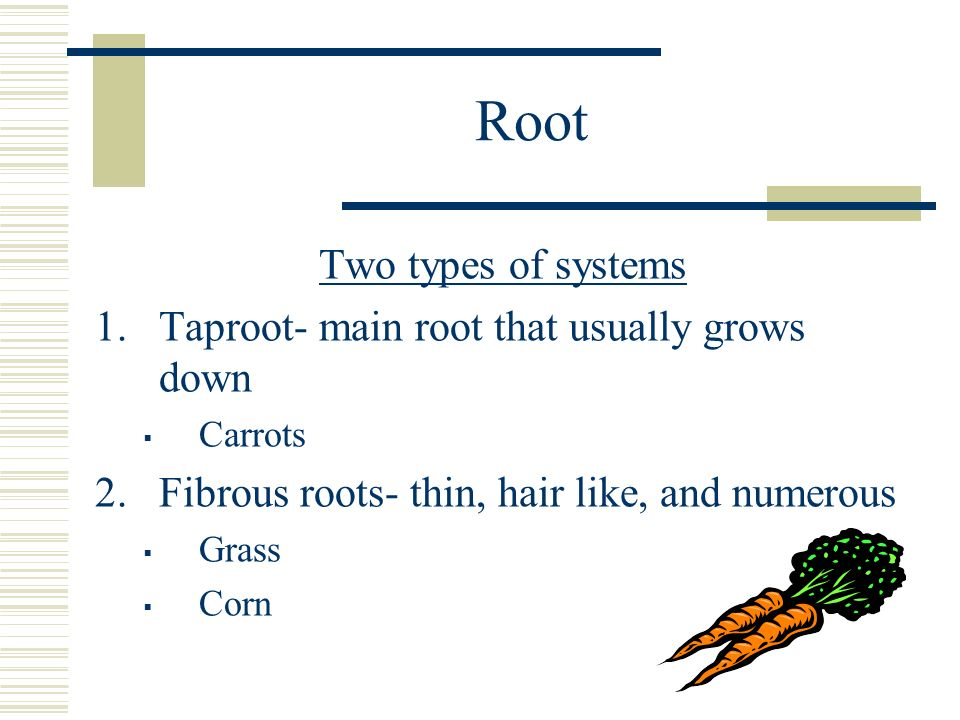 Root Two types of systems Taproot- main root that usually grows down