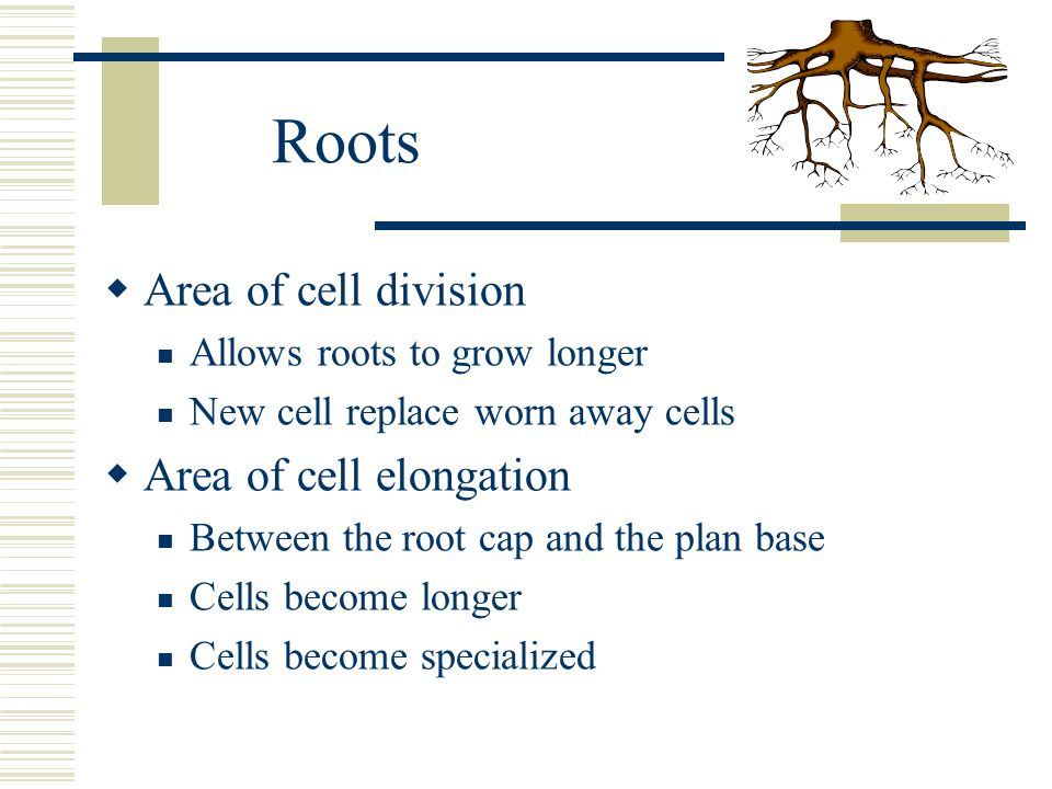 Roots Area of cell division Area of cell elongation