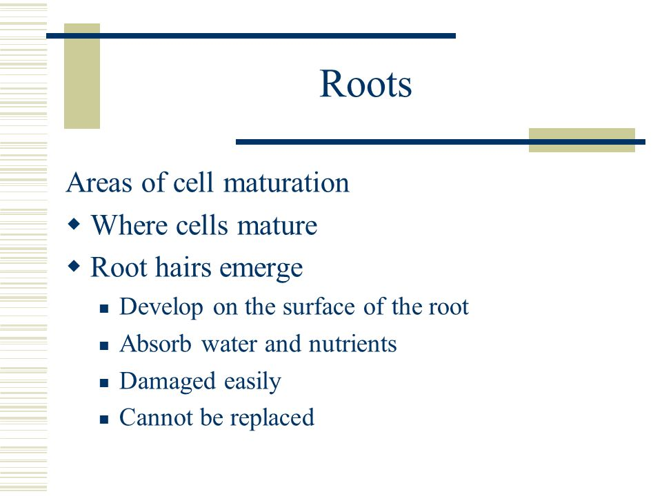 Roots Areas of cell maturation Where cells mature Root hairs emerge