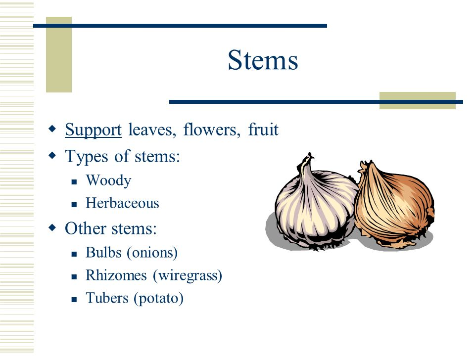 Stems Support leaves, flowers, fruit Types of stems: Other stems: