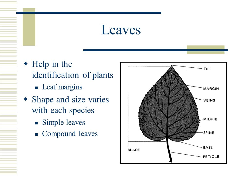 Leaves Help in the identification of plants