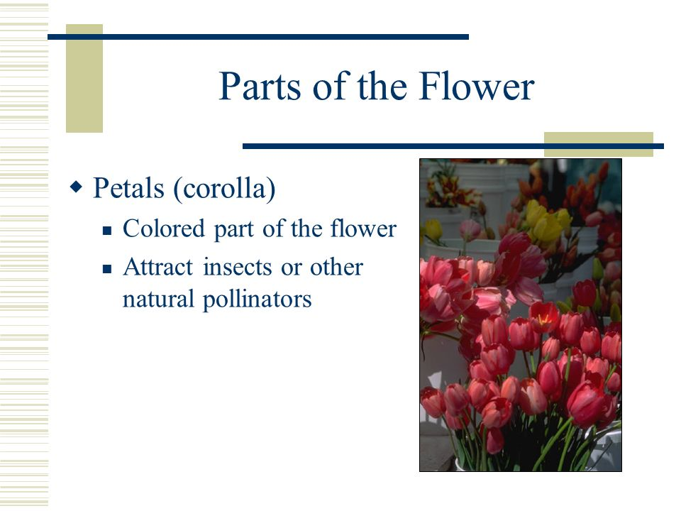Parts of the Flower Petals (corolla) Colored part of the flower