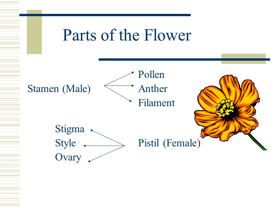 Parts of the Flower Pollen Stamen (Male) Anther Filament Stigma