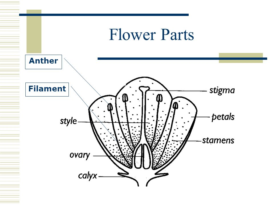Flower Parts Anther Filament