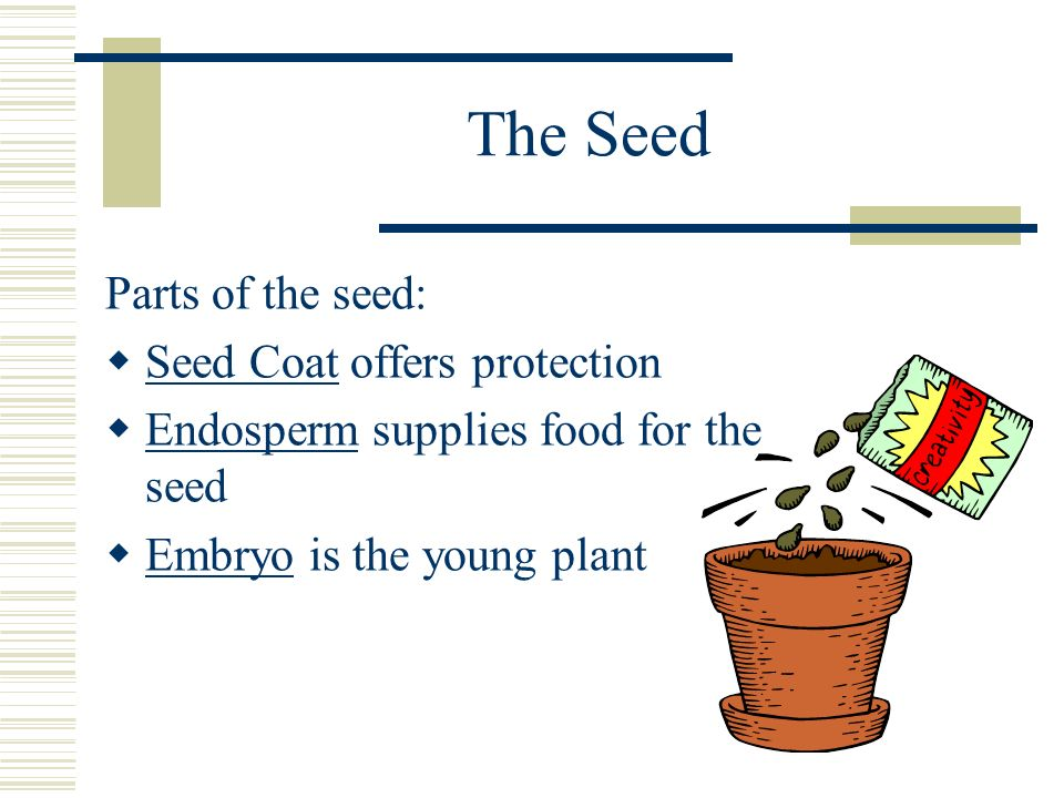 The Seed Parts of the seed: Seed Coat offers protection
