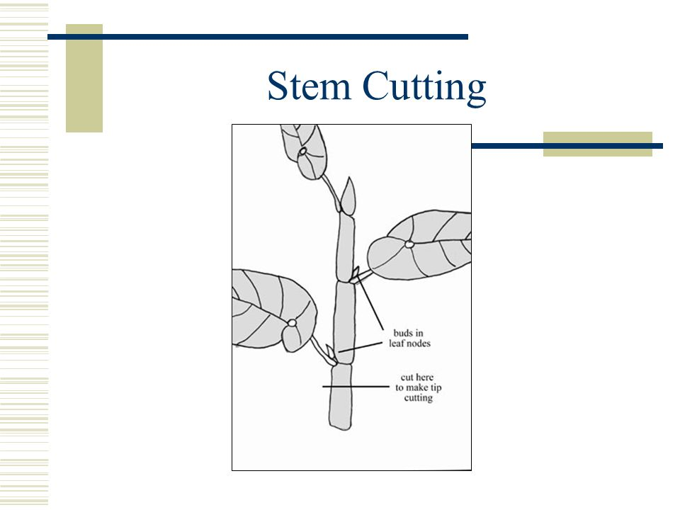 Stem Cutting