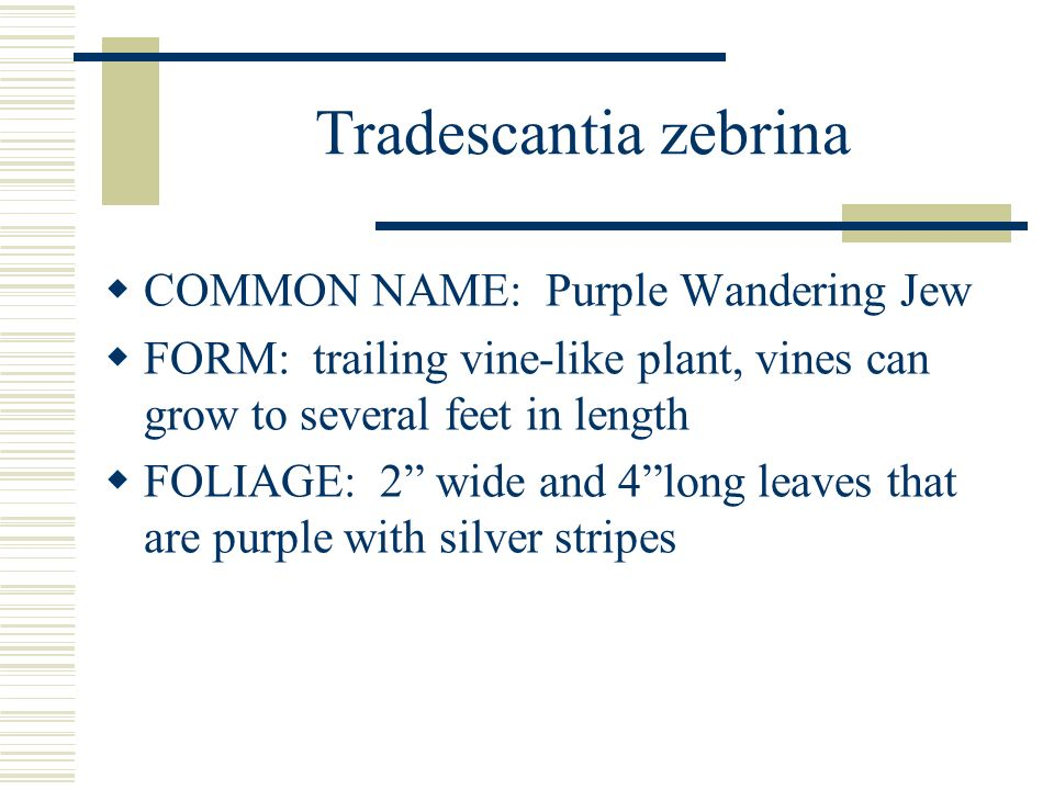 Tradescantia zebrina COMMON NAME: Purple Wandering Jew