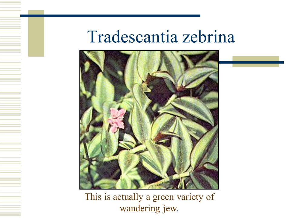 This is actually a green variety of wandering jew.