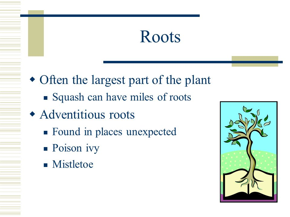 Roots Often the largest part of the plant Adventitious roots