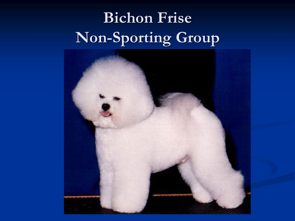 Bichon Frise Non-Sporting Group