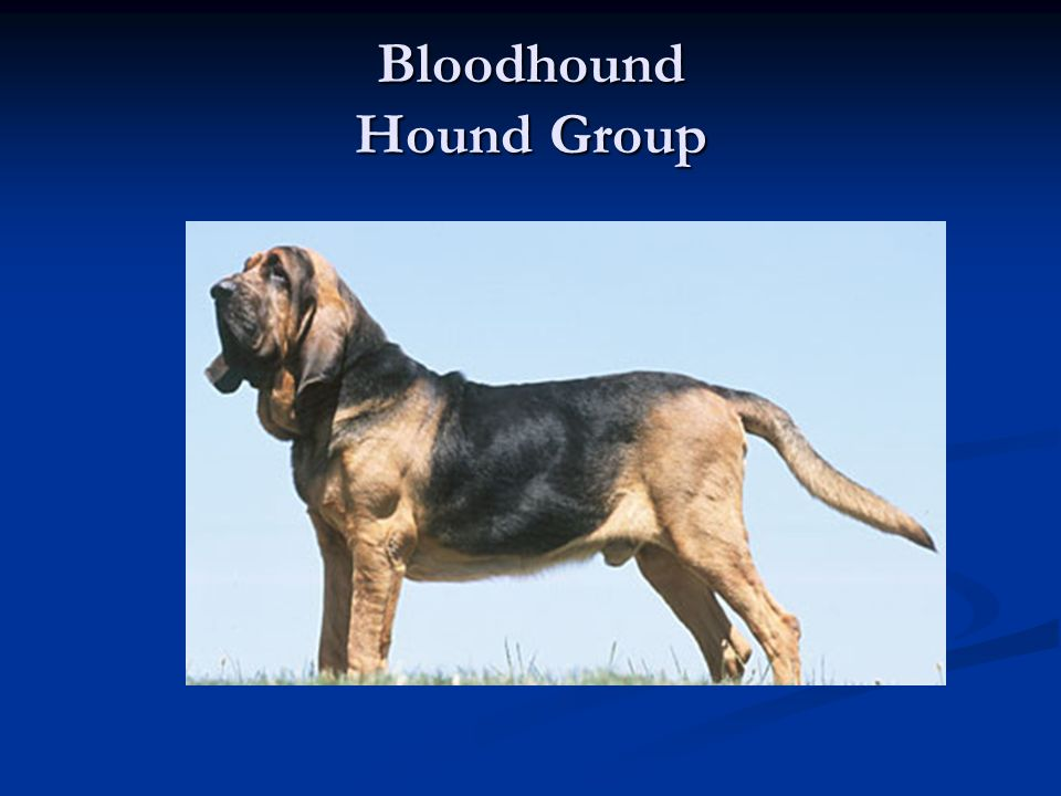 Bloodhound Hound Group