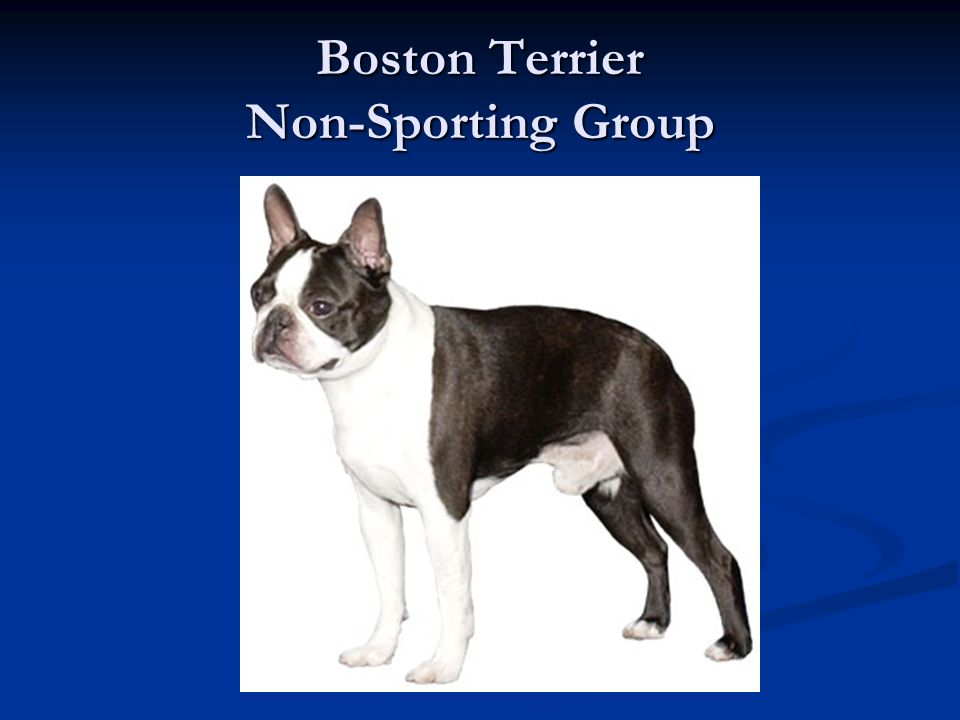 Boston Terrier Non-Sporting Group