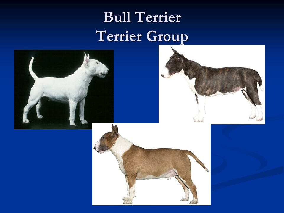 Bull Terrier Terrier Group