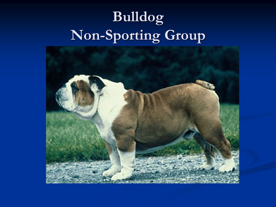 Bulldog Non-Sporting Group