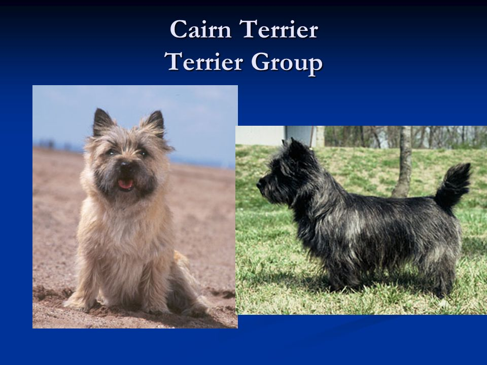 Cairn Terrier Terrier Group