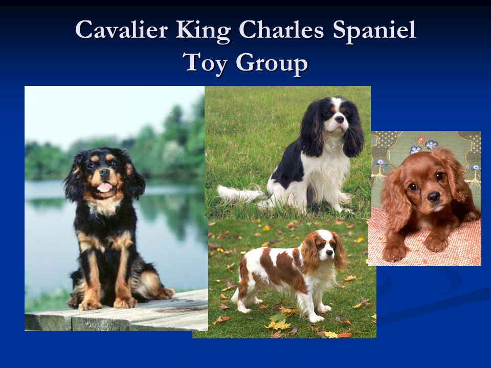 Cavalier King Charles Spaniel Toy Group