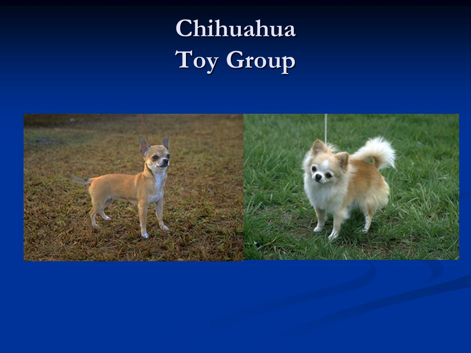 Chihuahua Toy Group