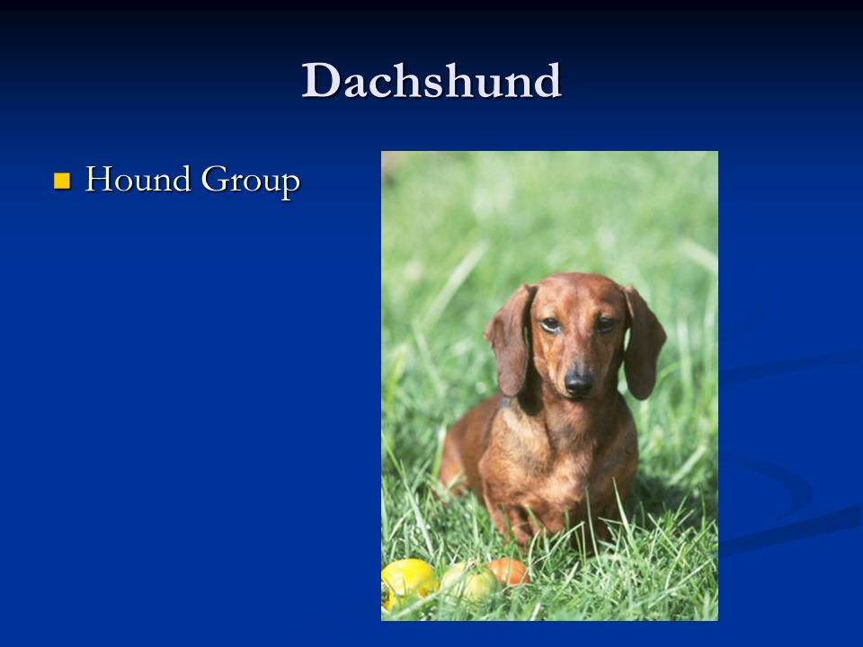 Dachshund Hound Group