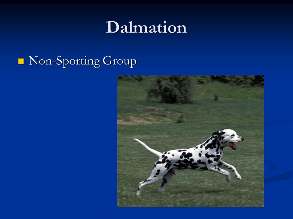 Dalmation Non-Sporting Group