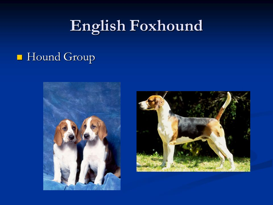 English Foxhound Hound Group
