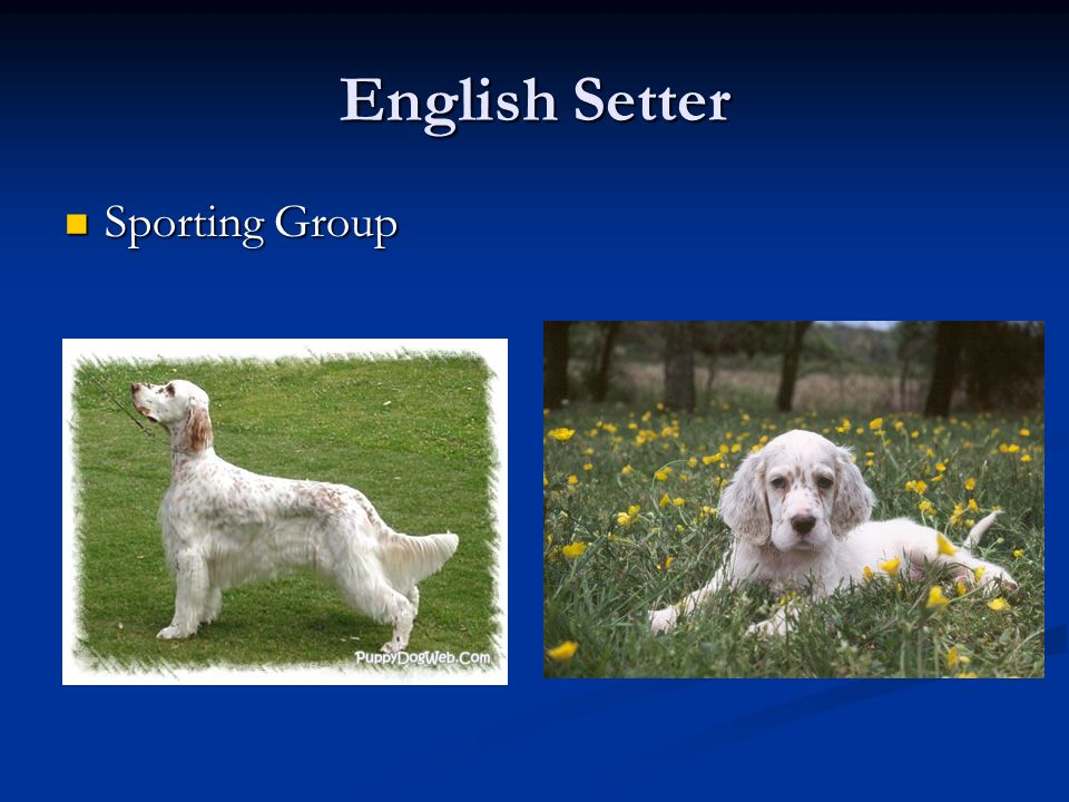 English Setter Sporting Group