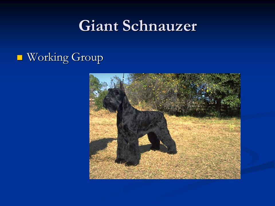 Giant Schnauzer Working Group