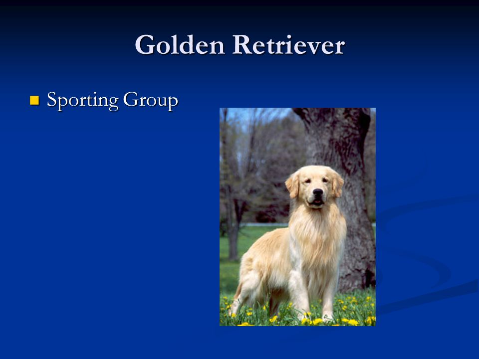 Golden Retriever Sporting Group