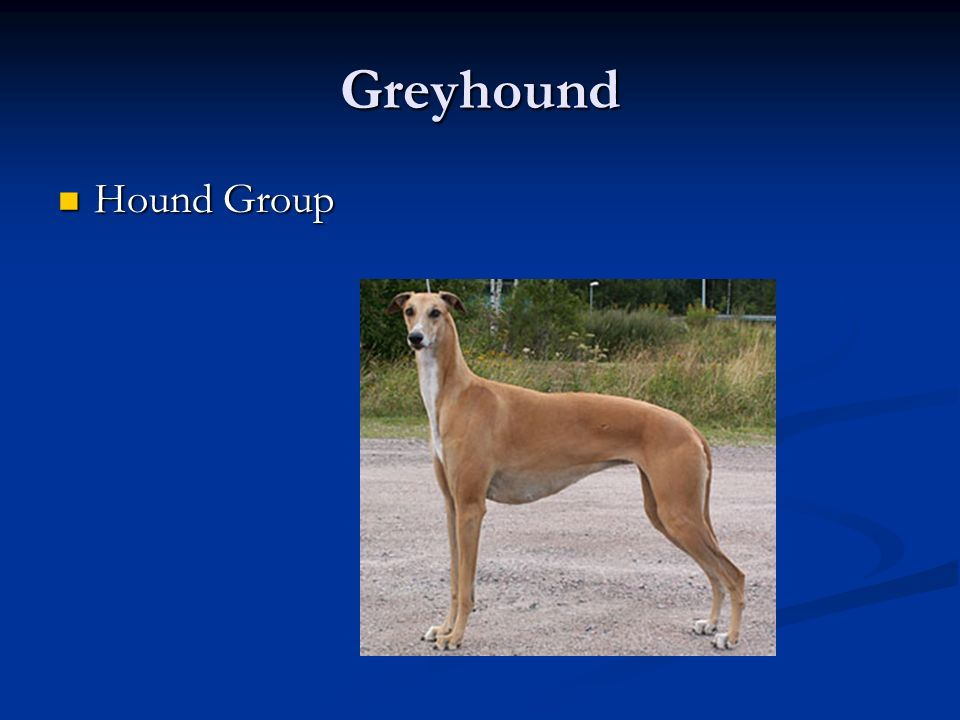 Greyhound Hound Group