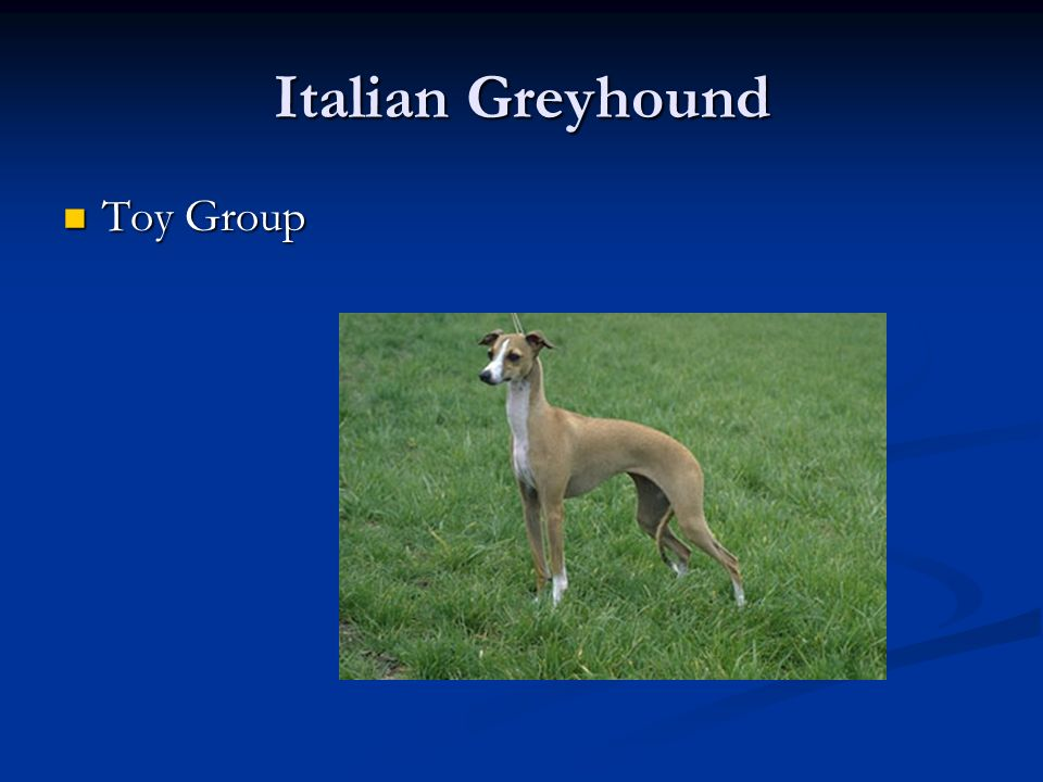 Italian Greyhound Toy Group