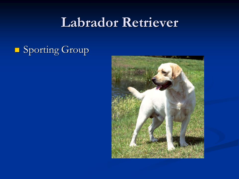 Labrador Retriever Sporting Group