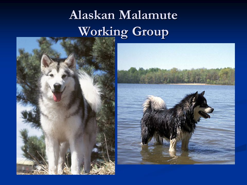 Alaskan Malamute Working Group