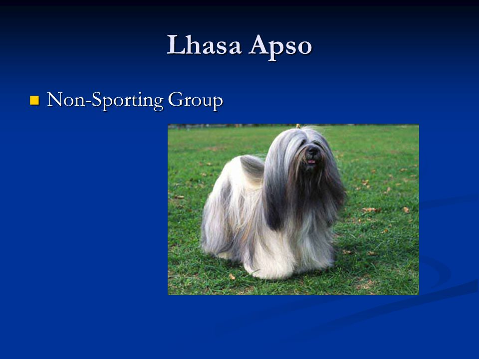 Lhasa Apso Non-Sporting Group