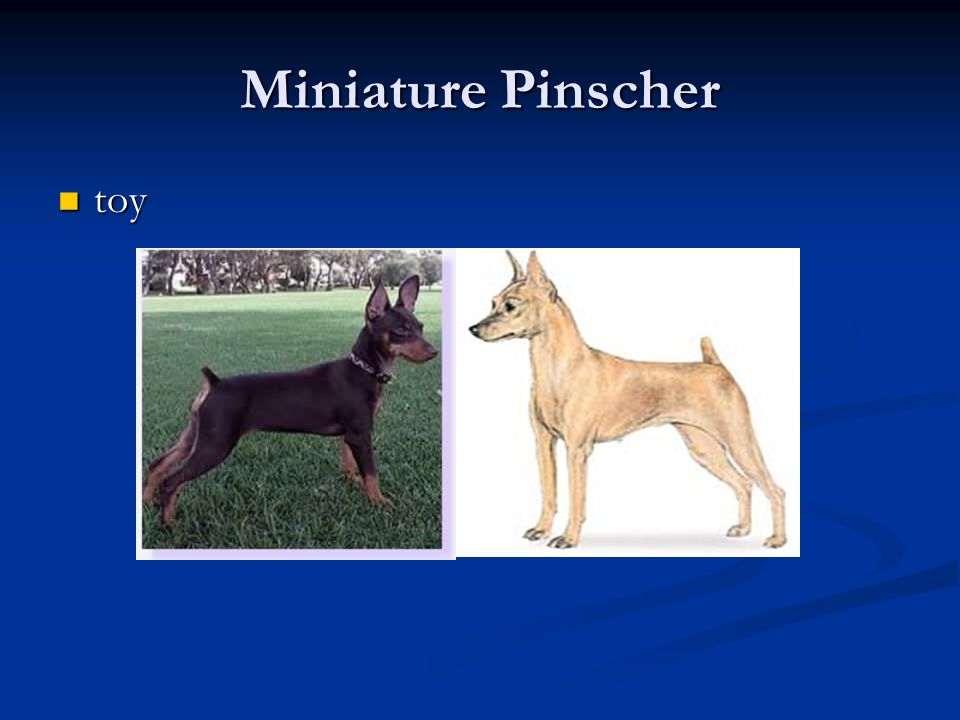 Miniature Pinscher toy