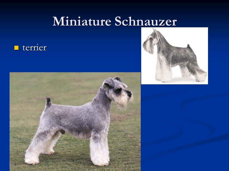 Miniature Schnauzer terrier