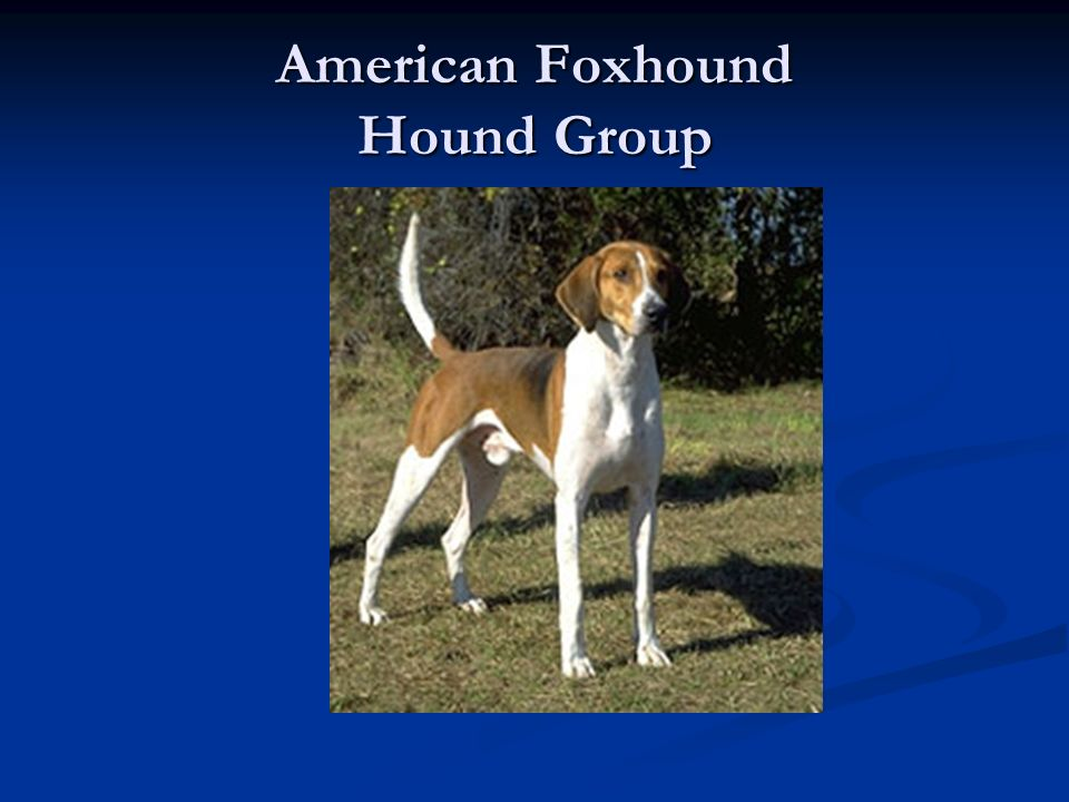 American Foxhound Hound Group