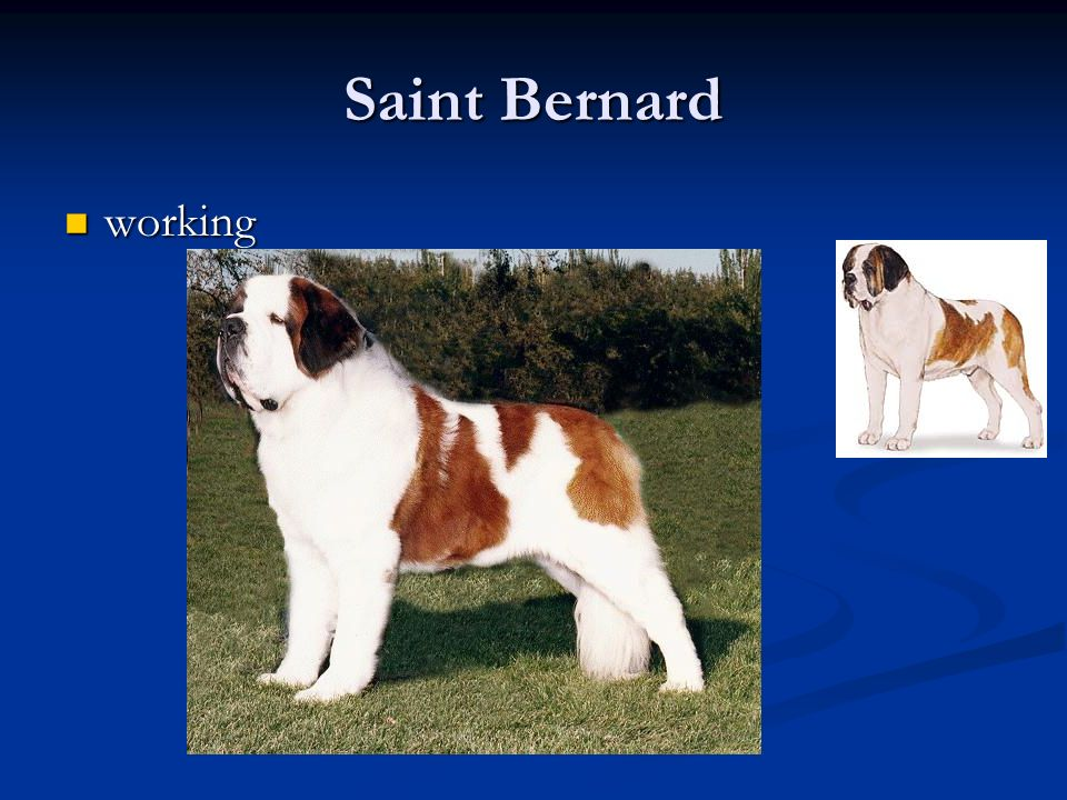 Saint Bernard working