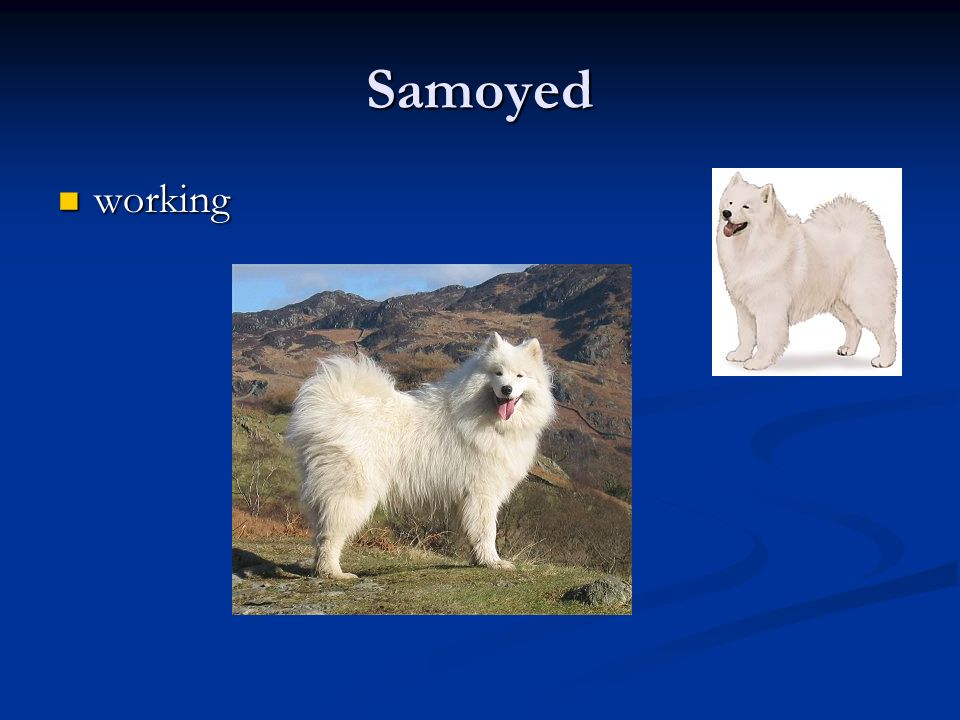 Samoyed working