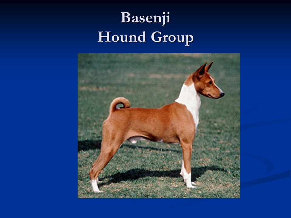 Basenji Hound Group