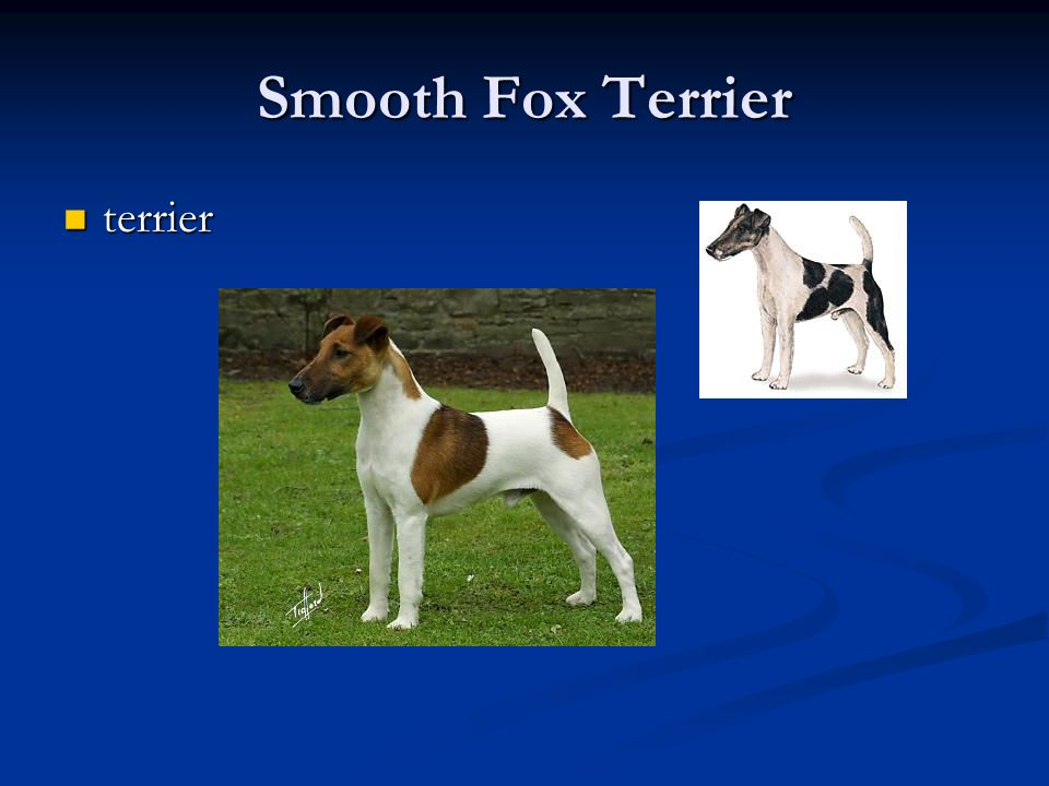 Smooth Fox Terrier terrier