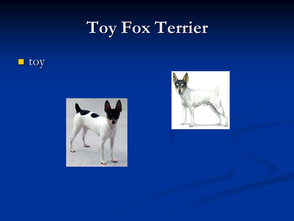 Toy Fox Terrier toy