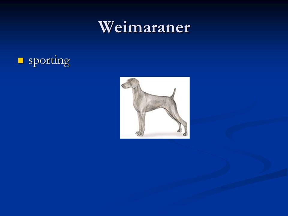 Weimaraner sporting