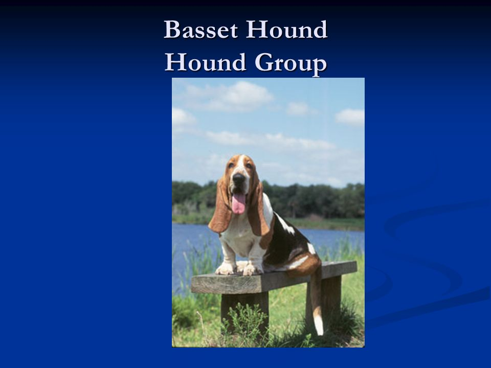 Basset Hound Hound Group
