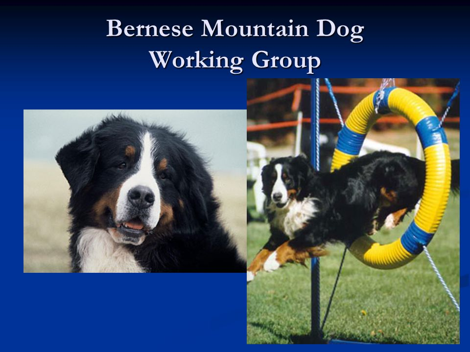 Bernese Mountain Dog Working Group