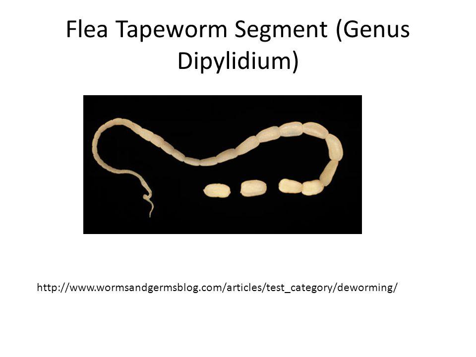 Flea Tapeworm Segment (Genus Dipylidium)