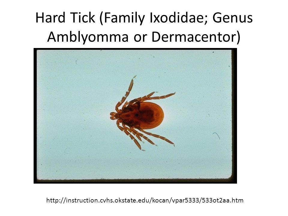 Hard Tick (Family Ixodidae; Genus Amblyomma or Dermacentor)
