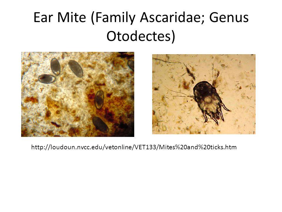 Ear Mite (Family Ascaridae; Genus Otodectes)
