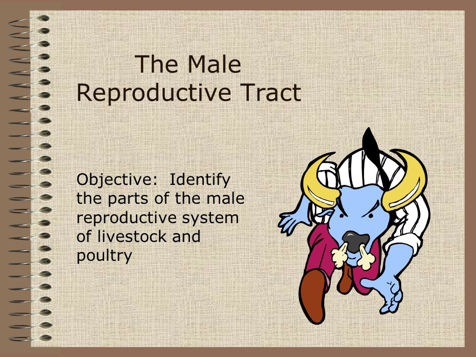 The Male Reproductive Tract