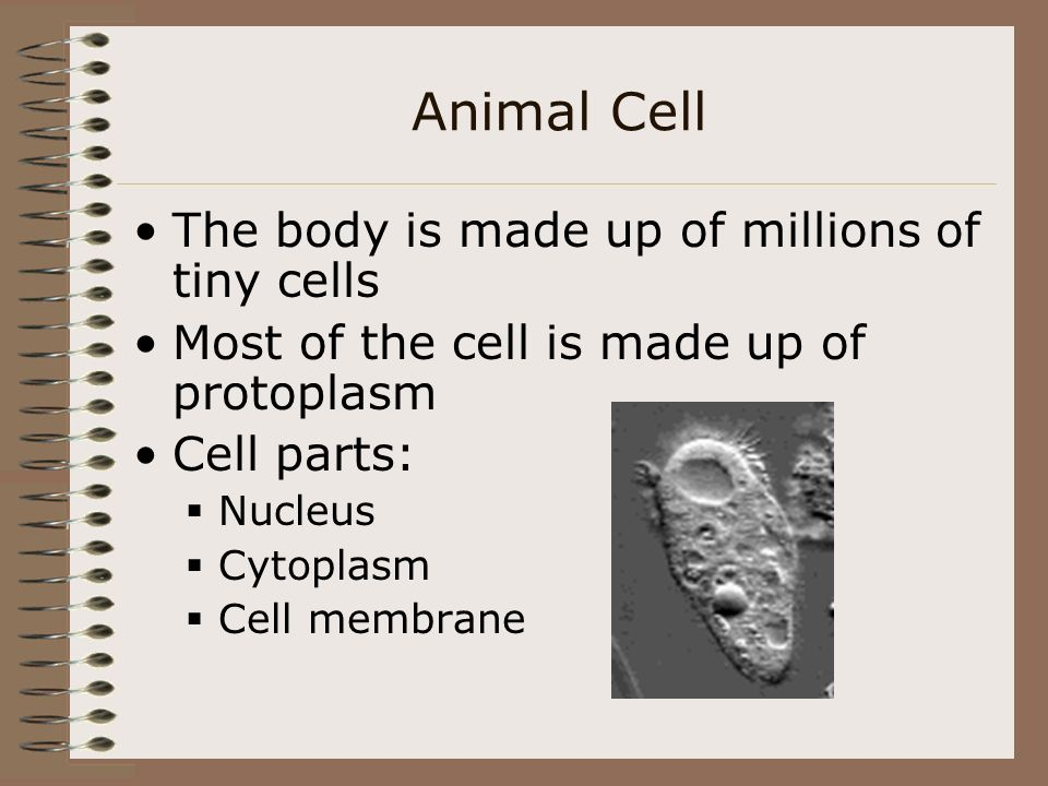 Animal Cell The body is made up of millions of tiny cells