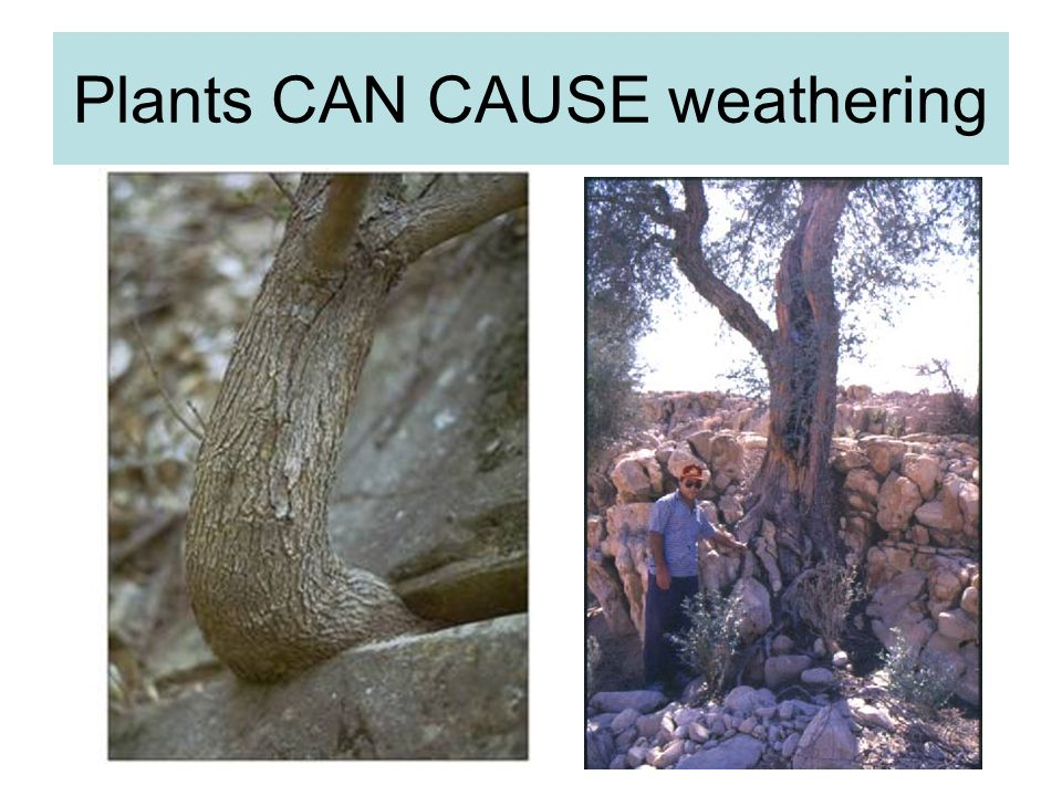 Plants CAN CAUSE weathering