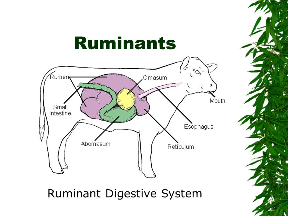 Ruminant Digestive System
